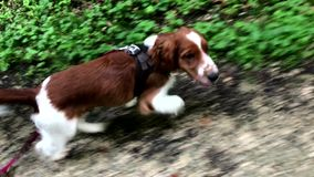 Welsh springer spaniel puppy on the leash stock video