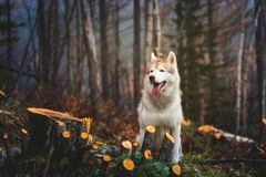 Portrait of cute wet dog breed siberian husky sitting in the late autumn forest on rainy day.  royalty free stock images