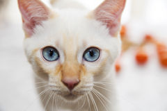 Portrait of a cute white Bobtail kitten Stock Photography