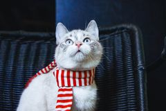 Portrait of a cute white cat in striped scarf looking up close up horizontal. A portrait of a cute white cat in striped scarf looking up close up horizontal royalty free stock images