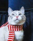 Portrait of a cute white cat in striped scarf looking up close up vertical. A portrait of a cute white cat in striped scarf looking up close up vertical royalty free stock image