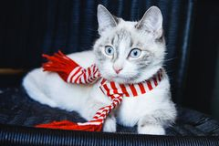 Portrait of a cute white cat in striped scarf lying on dark background. A portrait of a cute white cat in striped scarf lying on dark background stock image