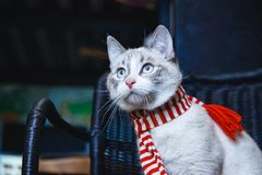Portrait of a cute white cat in striped scarf sitting on a chair. A portrait of a cute white cat in striped scarf sitting on a chair royalty free stock photography
