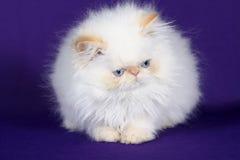 Portrait of a cute white kitten Stock Image