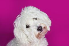 PORTRAIT CUTE WHITE MALTESE DOG TILTING ITS HEAD ON PINK BACKGRO. UND Royalty Free Stock Images
