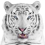Beautiful tiger. Portrait of cute white tiger Stock Images