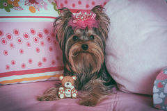 Portrait of a cute yorkshire terrier with crown Royalty Free Stock Photos