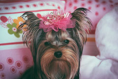 Portrait of a cute yorkshire terrier with crown Stock Photo