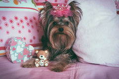 Portrait of a cute yorkshire terrier with crown Royalty Free Stock Image
