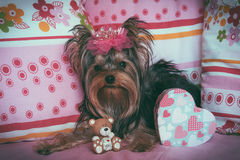Portrait of a cute yorkshire terrier with crown Royalty Free Stock Images