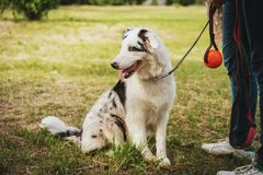 Portrait of a cute young Australian Shepherd Blue Merle playing ball with her master.  royalty free stock photo