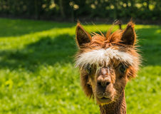 Portrait of a cute young brown llama Stock Photography