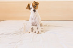Portrait of a cute young dog wiht the LOVE word. white backgroun. Portrait of a cute young dog with the LOVE word. white background. . Love for animals concept Royalty Free Stock Photo