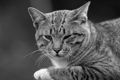 Portrait cute young gray cat with beautiful striped color be in a good temper on black timber Royalty Free Stock Images