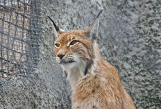 Portrait of a cute young lynx Royalty Free Stock Image