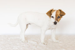 Portrait of a cute young small dog looking at the camera.  pets Stock Photography