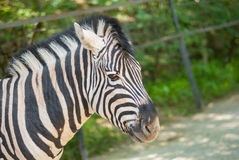 Portrait of cute zebra Royalty Free Stock Image