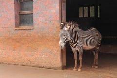 Portrait of cute zebra in zoological farmhouse looking sad Stock Photos