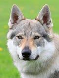 Portrait of Czechoslovakian Wolfdog Stock Images