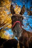 Portrait d'âne Photographie stock libre de droits