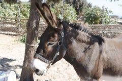 Portrait d'âne Photo libre de droits