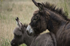 Portrait d'âne de mère avec l'âne de bébé Photographie stock