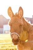Portrait d'âne sur un champ Image stock