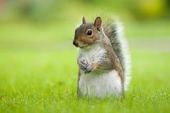 Portrait d'écureuil Image libre de droits