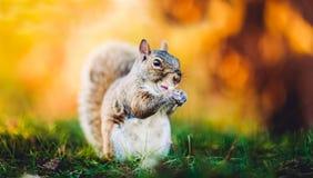 Portrait d'écureuil dans la saison d'automne images libres de droits