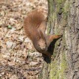Portrait d'écureuil rouge curieux Image libre de droits