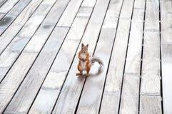 Portrait d'écureuil rouge eurasien devant un fond en bois Photographie stock libre de droits