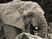 Portrait d'éléphant Images libres de droits