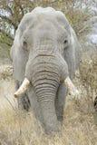 Portrait d'éléphant africain, plan rapproché photo stock