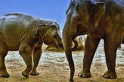 Portrait d'éléphant - alimentation d'un bébé d'éléphant Photo libre de droits