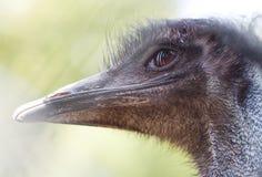 Portrait d'émeu australien, yeux tristes Image libre de droits