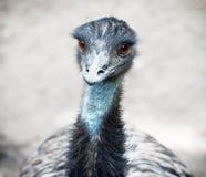 Portrait d'émeu d'oiseau (novaehollandiae de Dromaius) Photo stock