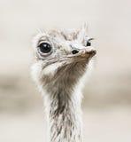 Portrait d'émeu - les novaehollandiae de Dromaius, se ferment de l'oiseau Photo libre de droits