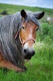 Portrait d'étalon brun avec le crin gris Images libres de droits