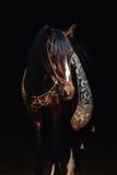 Portrait d'étalon de baie sur le noir Images stock