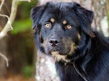 Portrait d'adoption de mélange de rottweiler Photo stock