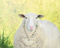 Portrait d'agneau avec le nez rose Images libres de droits
