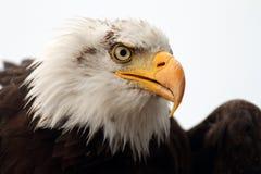Portrait d'aigle chauve Image stock