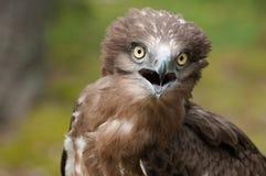 Portrait d'aigle de serpent Court-botté avec la pointe du pied par adulte Photographie stock