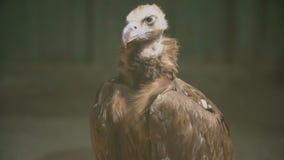 Portrait d'aigle de vautour clips vidéos