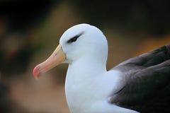 Portrait d'albatros Noir-browed, melanophris de Thalassarche, tête blanche avec la facture gentille, sur Falkland Islands Image libre de droits