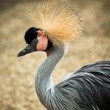 Portrait d'animal d'oiseau de grue Photos stock
