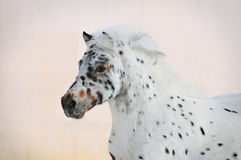 Portrait d'appaloosa de poney Photographie stock