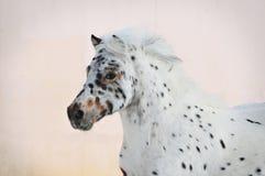 Portrait d'appaloosa de poney Photographie stock