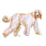Portrait d'aquarelle de chien de race de lévrier afghan sur le fond blanc Animal familier doux tiré par la main Photographie stock