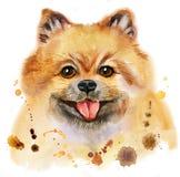 Portrait d'aquarelle de spitz pomeranian de chien illustration de vecteur
